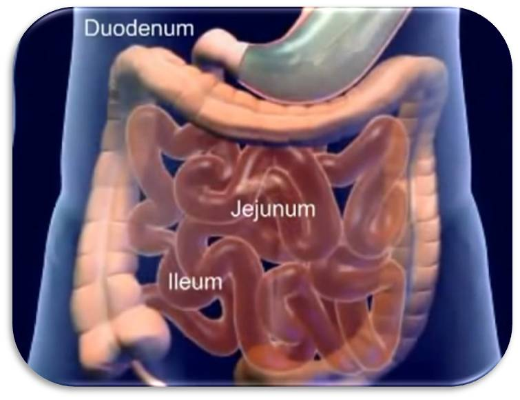 digestive: digestion and entire small intestine essay The human digestive system consists of the  and then passes through the small intestine, where digestion  as an accessory digestive gland in the digestive system.